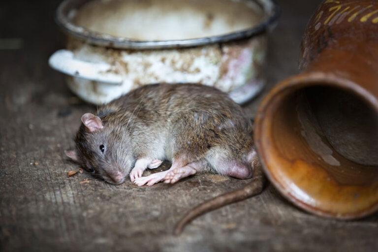 Tipp aus dem Husumer Rathaus: Was tun gegen Ratten?